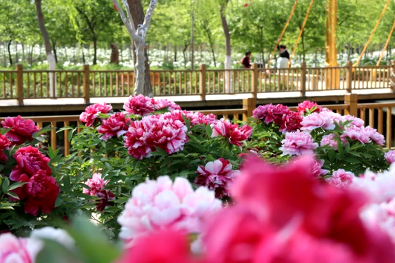 Visit the peony garden in Jining