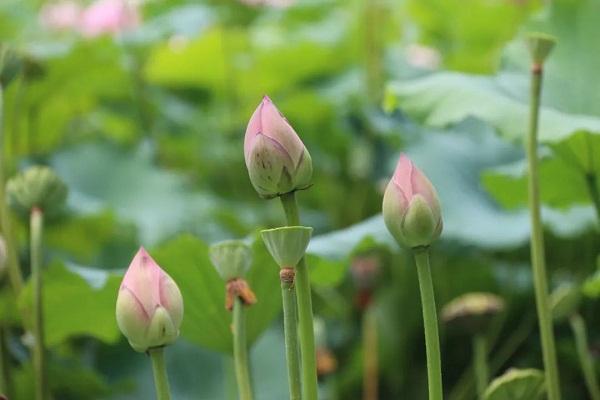 lotus festival 2.jpeg