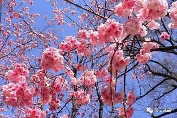 Spring flowers bloom in Jining