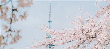 Admire Shinan's enchanting spring cherry blossoms