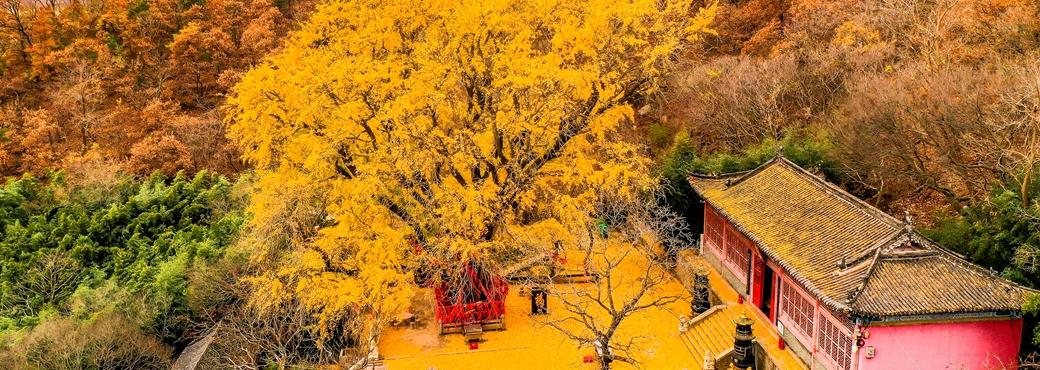 Millennium ginkgo tree in Weihai offers up stunning views