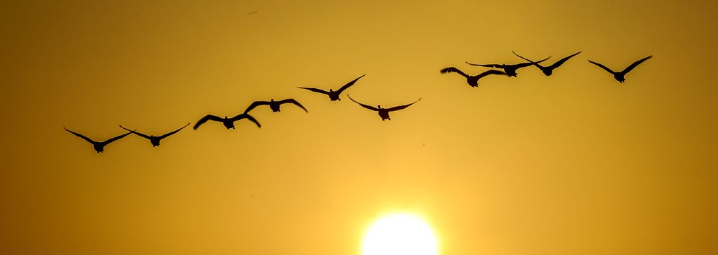 Swans to leave winter habitat in Rongcheng