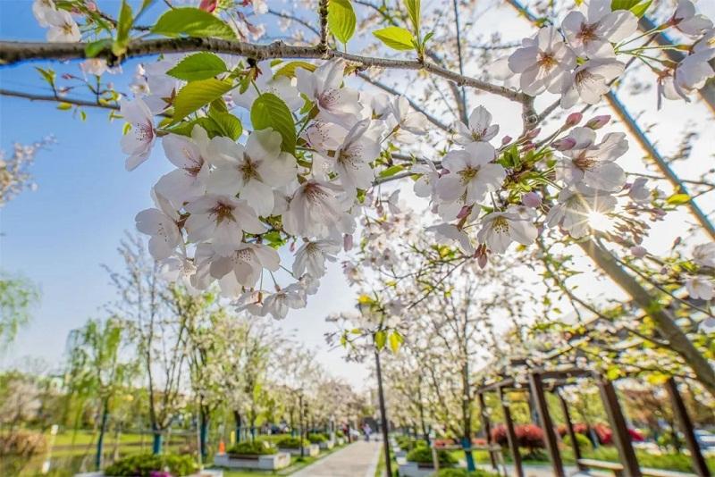 Cherry blossoms at Huadonglu Park