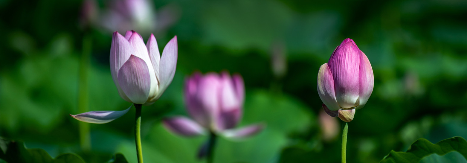 Magnificent lotuses in full bloom in Yuncheng