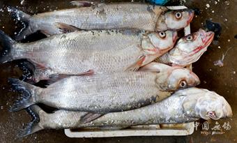 Taihu Lake White Fish