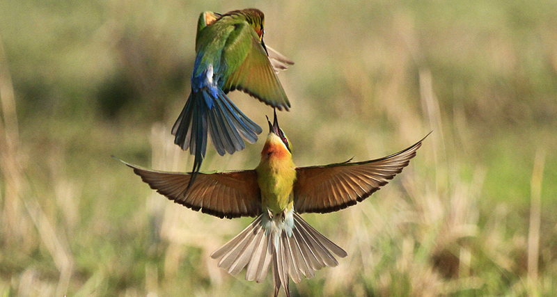 Blue-tailed bee-eaters settle, breed in Xiamen