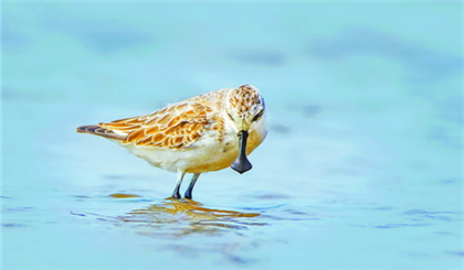 Rare spoon-billed sandpipers sighted in Xiamen
