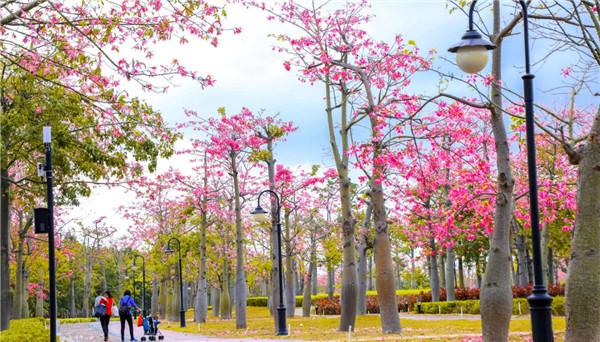 Exotic silk floss trees swirl Hengqin corridor with color