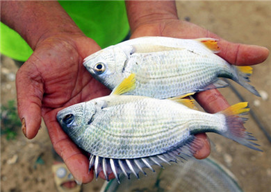 Industrial property rights pend for yellowfin seabream